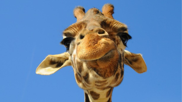 giraffe15342